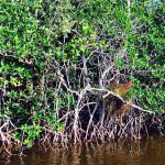 Mangroves in the Florida Keys