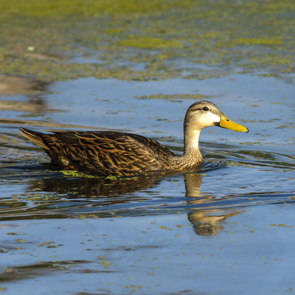 Hunting for mottled duck in South Florida with Andy Thompson