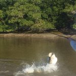 a large tarpon jumping in shallow water